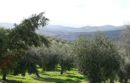 Cortijo de Suerte Alta olivos