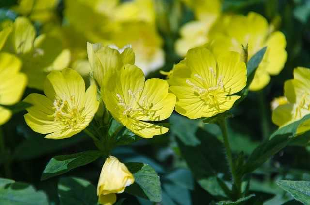 Evening Primrose, Happy Perilla Special